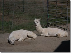 Alpacas sunning themselves on the sandy dry lot